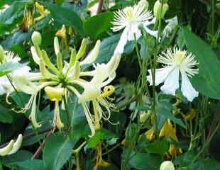 Lonicera common name honeysuckle