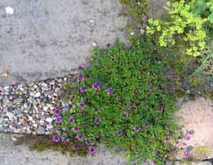 thyme growing on path