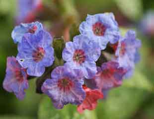Plants for bees Pulmonaria