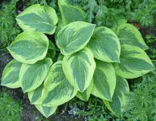 lime green leaved Hosta