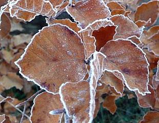 Frozen-beech