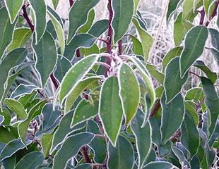 frozen-portugese-laurel