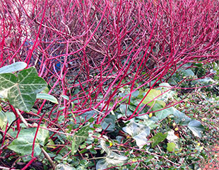 Cornus alba Siberica in winter