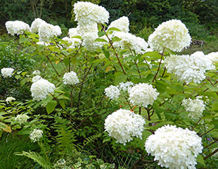 hydrangea paniculata in bloom