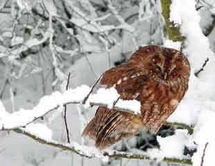 Owl-in-winter-310-x-240
