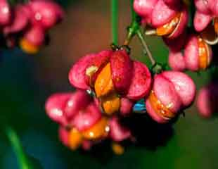 Euonymus europaeus 'Red Cascade' spindle tree