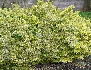 Euonymus fortunei 'Emerald v Gold'