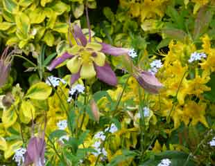 Euonymus with yellow Rhododendrum and Aquilegia 'Swan Lavender'