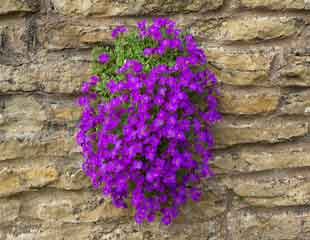 Aubretia trailing down a wall