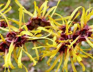 yellow witch hazel