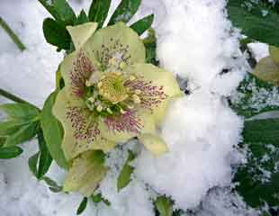 Helleborus in the snow