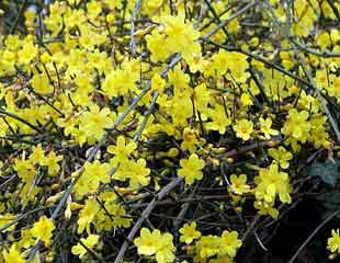 Winter flowering Jasmine
