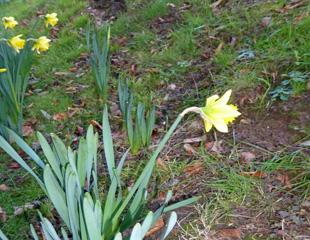 Daffodil flowering in Jan
