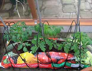 Tomatoes-in-grow-bag-310-x-240