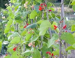 runner beans in flower