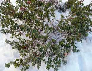 Cistus x cyprius cleared of snow