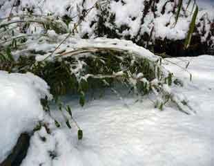 bamboo under snow