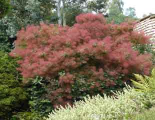 Smoking-cotinus-from-distance