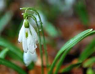 snow drop close up