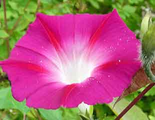 Ipomoea ' morning glory'