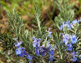 Blue rosemary flowers