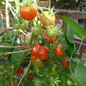 tomatoes-on-the-vine-300-x-300