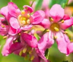 escallonia flowers