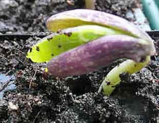 Emerging-bean-310-x-240