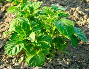 growing-potatoes-in-the-veg-plot