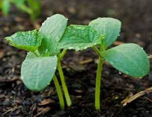 Courgette seedlings