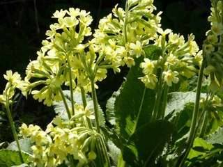 Primula veris - the common cowslip