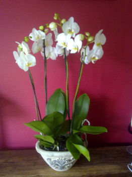 Phalanopsis Orchids Planted