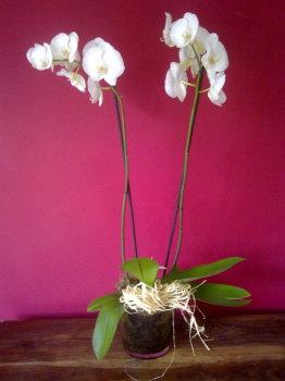 Phalanopsis Orchild Planted