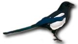 magpietransparent