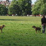Clapham Common in London 2 brown dogs