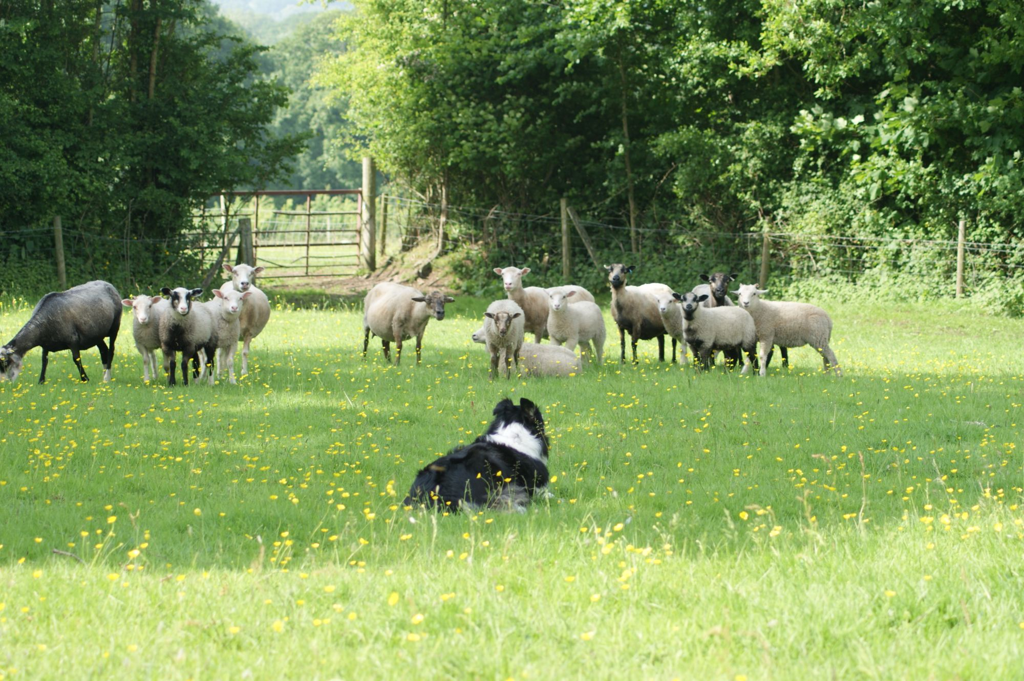 Sheep dog in charge