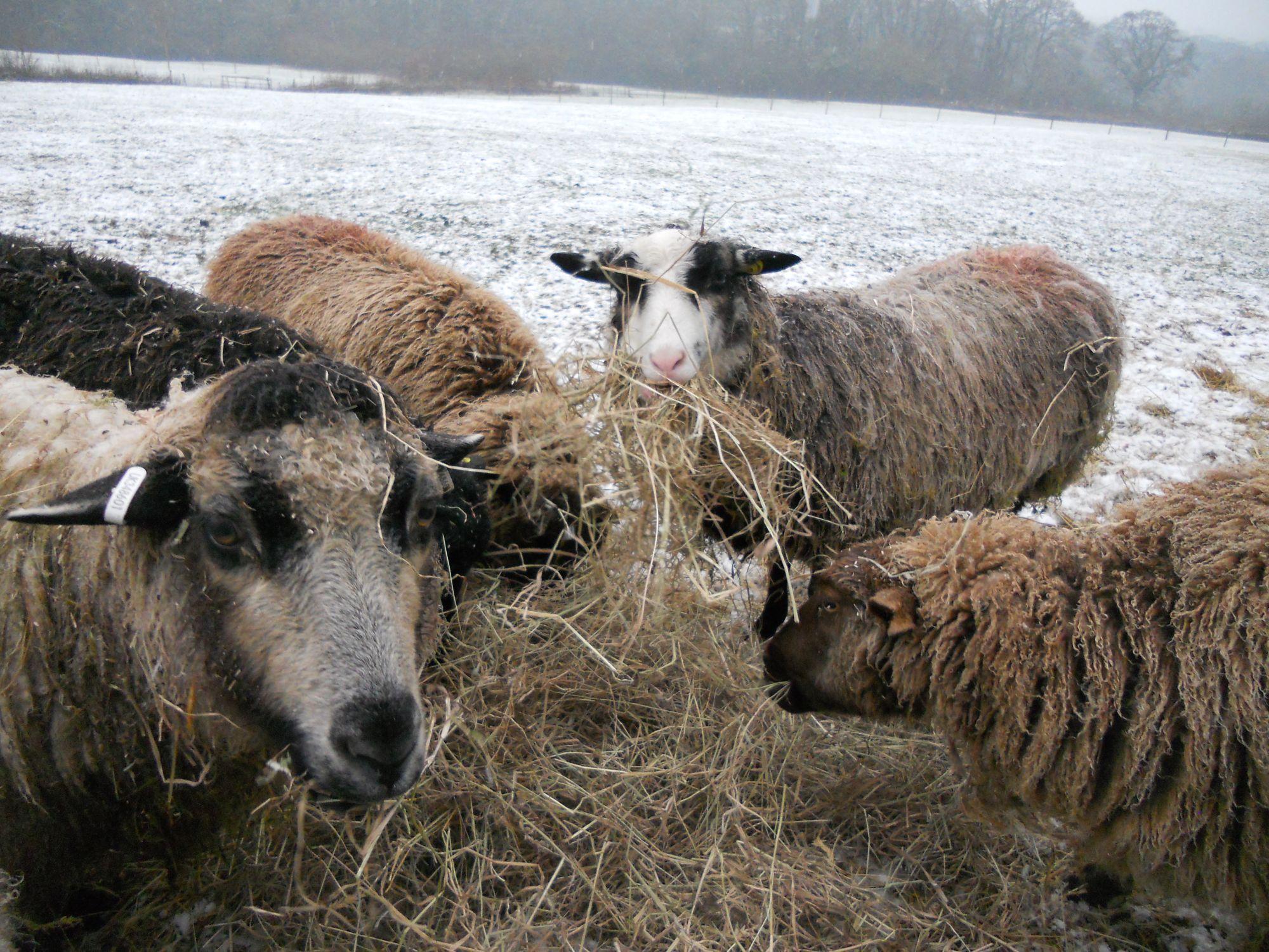 Winter feeding shetlands