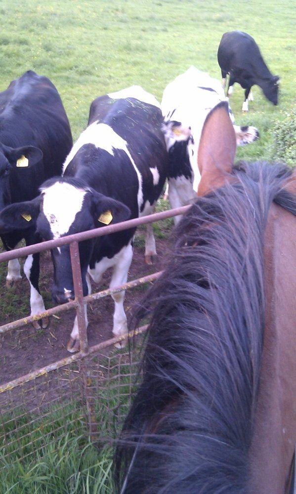 snicks and cows