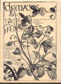 Clematis Botanical