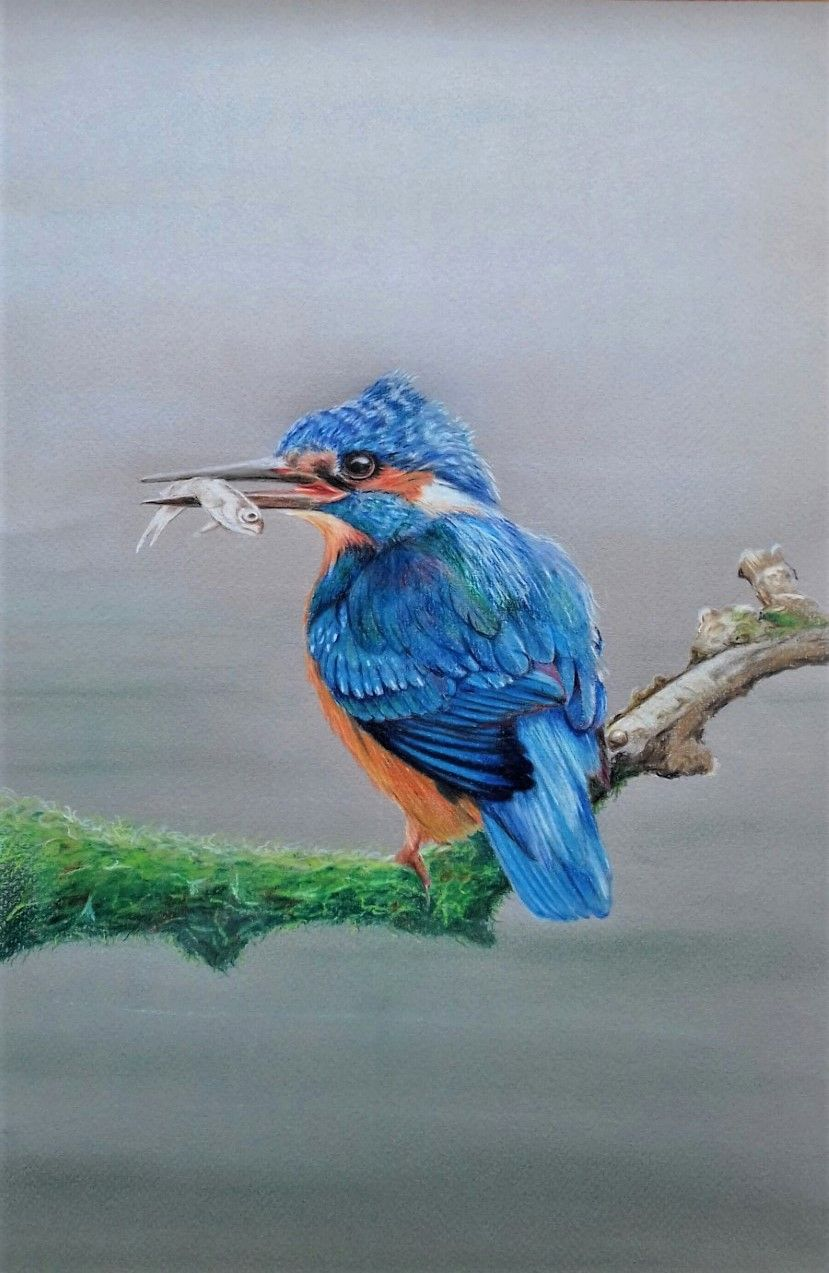 Kingfisher   ________________________________ coloured pencil and pastel on Daler Murano coloured paper  (40cm x 30cm, unframed)           £40