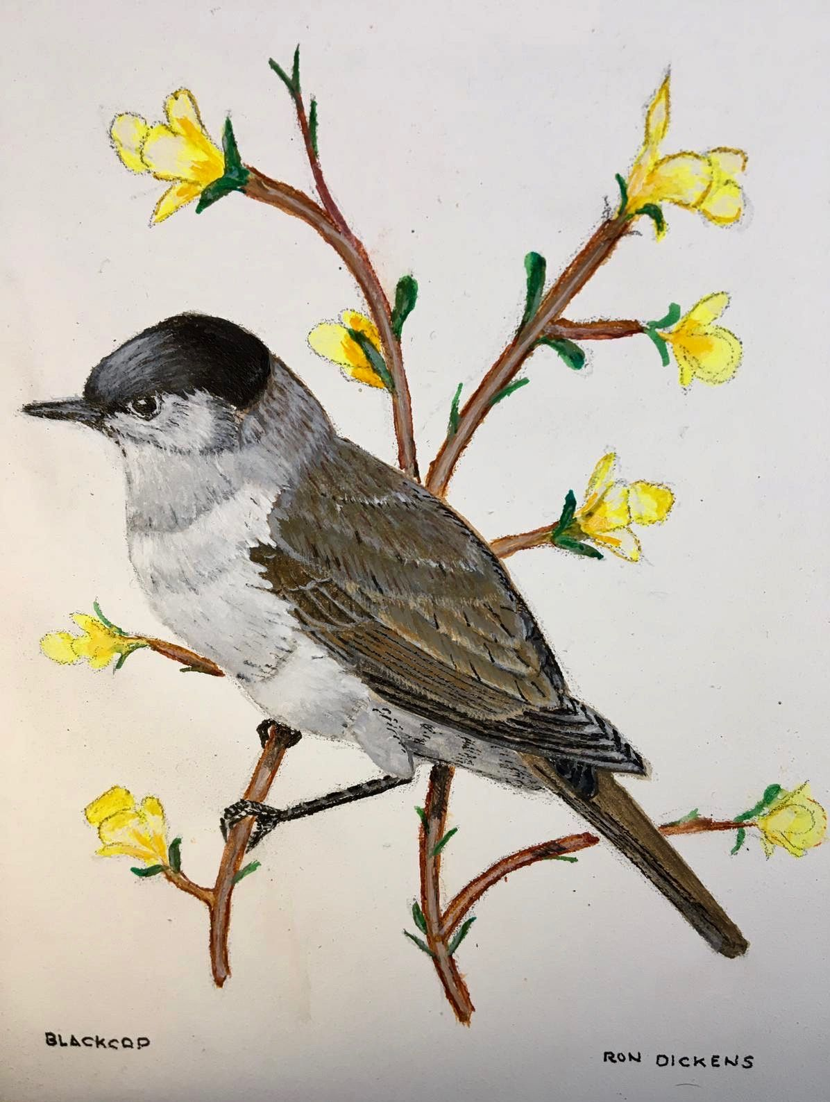 Blackcap   ________________________________ acrylic on canvas, unframed  (18cm x 13cm)           £30