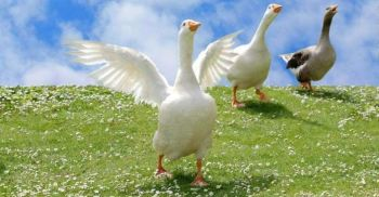Geese on grass