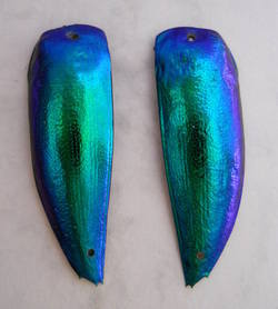 Blue/green pair of beetle wings