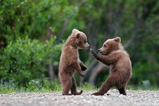 boxing cubs