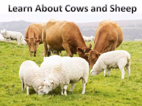 Learn about cows and sheep