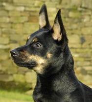 Lancashire Heelers Cate's pedigree