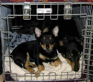 Lancashire Heelers Laurel and Stanley