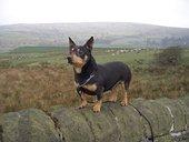 Lancashire Heelers, Oliver at Kays