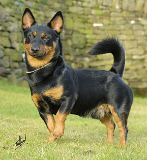 Lancashire Heelers, Buscuits photo