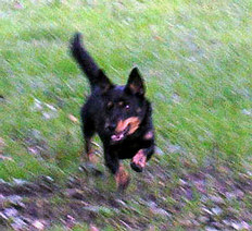 Lancashire Heelers Duffy at play